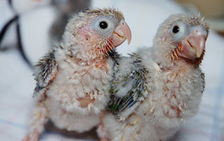 Quaker and Conure Buddies of Illinois: Conure Baby Photo Diary