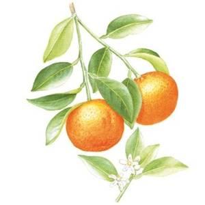 Laranja-da-terra, nome científico: Citrus aurantium