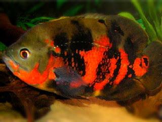 4 Ciri Ciri Ikan Oscar Yang Bagus Tips Ikan