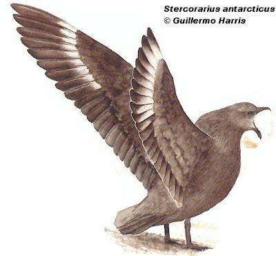 aves marinas argentinas Escúa antártica Stercorarius antarcticus