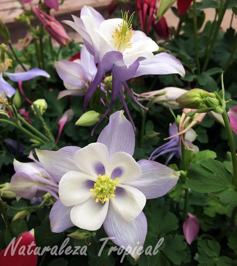 Flor con pétalos blanquecinos y sépalos azulosos de una planta del género Aquilegia