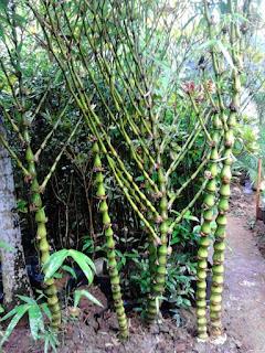 bambu nagin murah