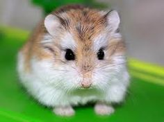Dwarf Hamster FAQ - Common Questions - Dwarf Hamster Types