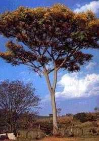 Guarapuvu