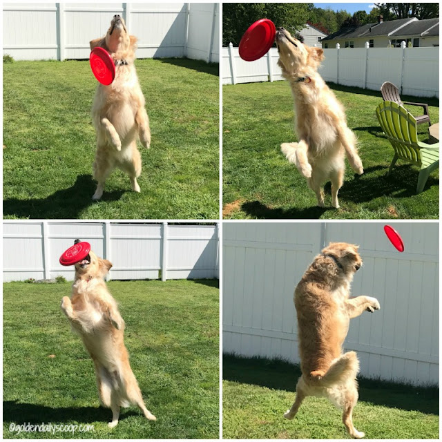 golden retriever playing frisbee