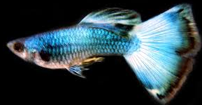 Jenis Ikan Hias Air Tawar Yang Mudah Dipelihara Guppy