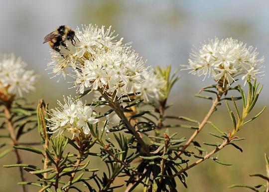 Flowering ledum