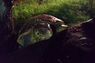 http://vnoticia.com.br/noticia/2512-tartaruga-se-desorienta-e-e-devolvida-ao-mar-na-praia-de-guaxindiba