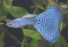 peluang usaha budidaya ikan guppy