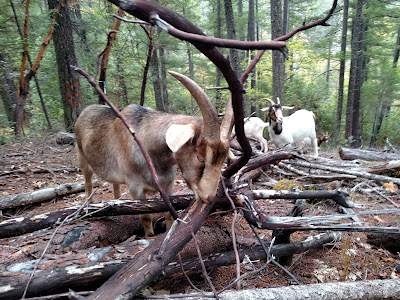 Goats eat Madrone tree, Klamath California