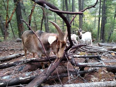 Goats eat Madrone tree, Klamath California