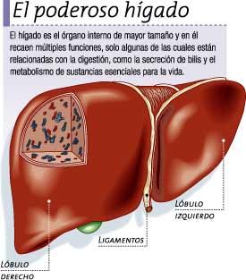 Imagen del hígado del cuerpo humano indicando partes