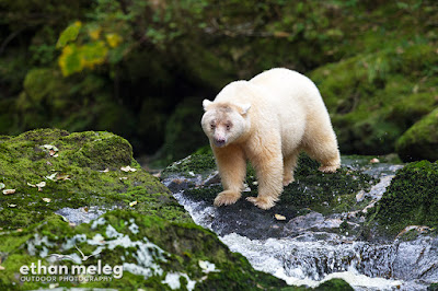 Photographing Spirit Bears in the Great Bear Rainforest of B.C.