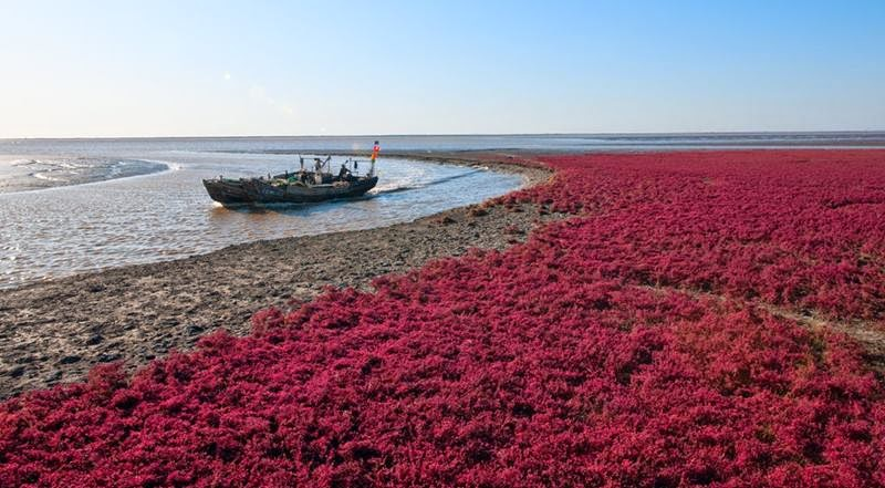 The Red Beach  is located in the Liao River Delta, Panjin, China, it is regarded as a famous state-level nature reserve.