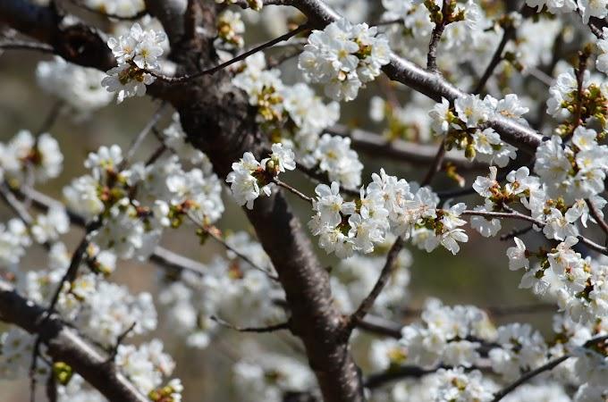 La floración en el Valle del Jerte anuncia la primavera