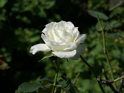 White Rose Normal Resolution HD Wallpaper 9