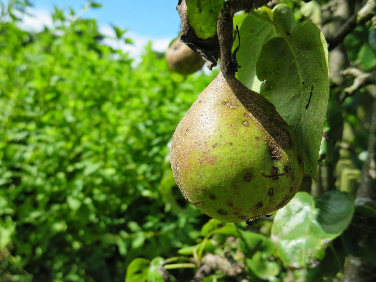 Pear plant in the walled garden at Marlay Park