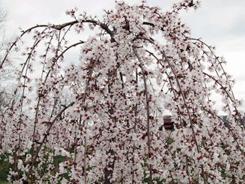 A guide to northeastern gardening spring flowering trees for Dwarf ornamental trees for zone 4