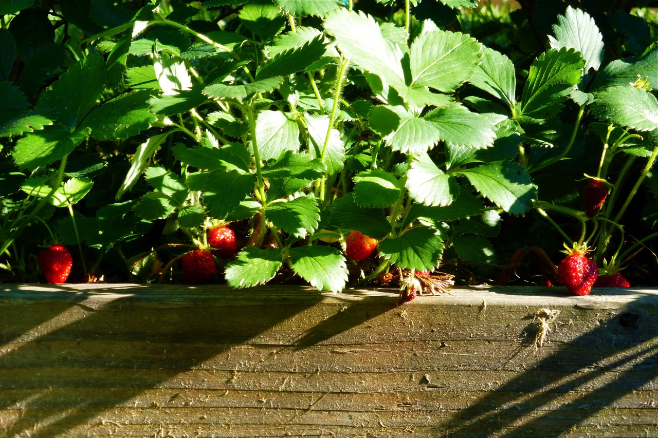 strawberries, red strawberries, ripe strawberries, red ripe strawberries