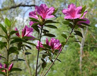 Tanaman bunga azalea