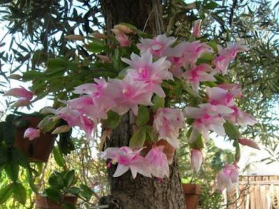 A planta é uma cactácea, (pertence à família dos cactos , mas não é um deles)de cores em tons de dégradé bem exóticas. Suas flores têm forma de capuz, com aproximadamente 7 centímetros de comprimento e cores que variam do lilás ao branco.