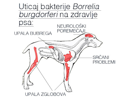 Uticaj bakterije Borrelia burgdorferi na zdravlje psa - Panvet blog