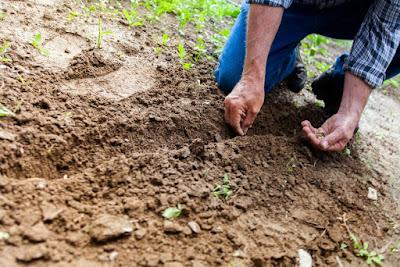 Berkebun, berkebun sayuran organik, organik, sayuran organik, cara berkebun, menanam sayur,