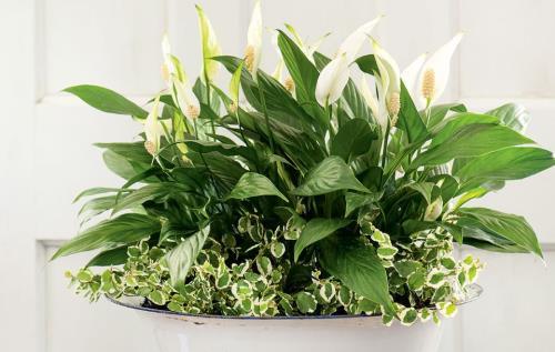Selain itu tumbuhan sehat juga bisa membersihkan udara dengan mengubah karbondioksida men 8 Tanaman Sehat di Dalam Rumah