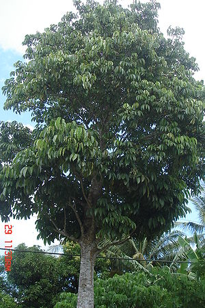 Pili nut - Canarium ovatum Engl.