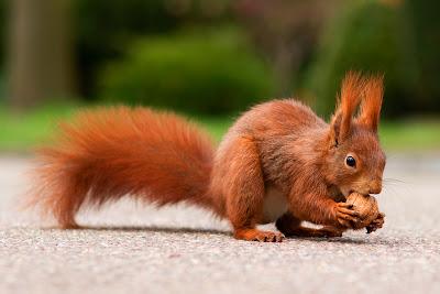 Eichhörnchen knackt & frisst eine Walnuss - Eichhörnchen Foto