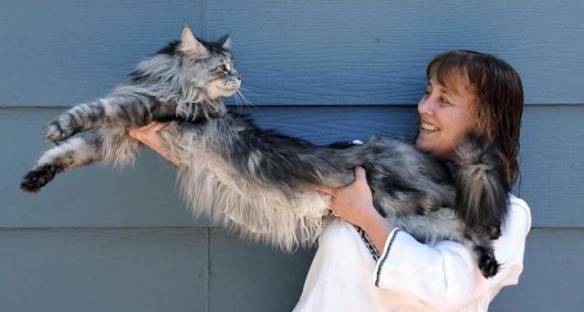 #14 Stewie: Ο γάτος από τη Νεβάδα που έχει μήκος 1,23 μέτρα.