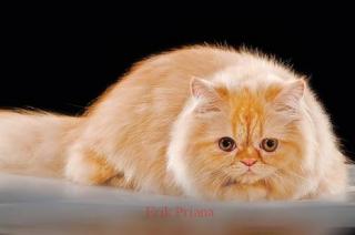 9 Cara mudah Merawat Kucing Persia