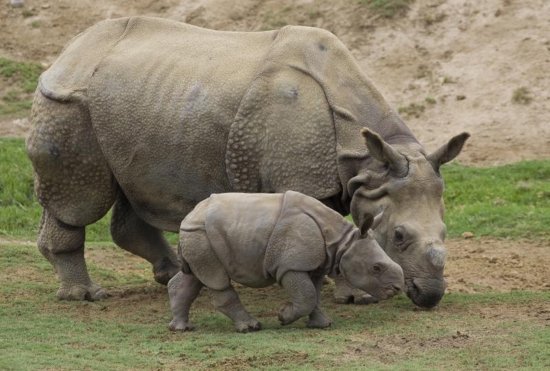 Indian Rhinoceros Animal Wildlife
