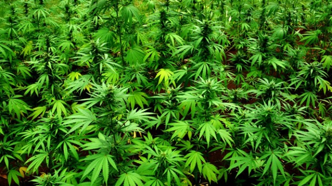 POPUŠIPOVAČA: Pronađene četiri stabiljke marihuane