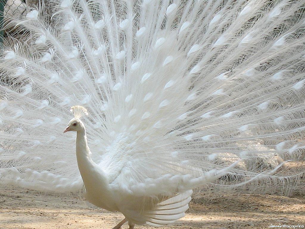 Beautiful Peacock   wild Birds   Wild Life