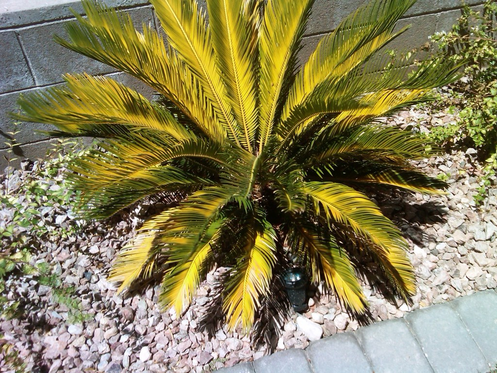 xtremehorticulture of the desert how to correct yellowing of sago palm