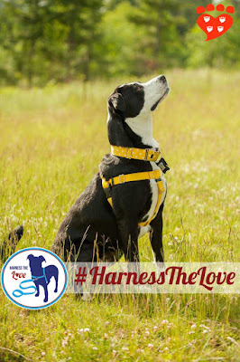 No-pull harnesses are a great choice to walk your dog. Here, Beautiful Zoe models her no-pull  harnesb