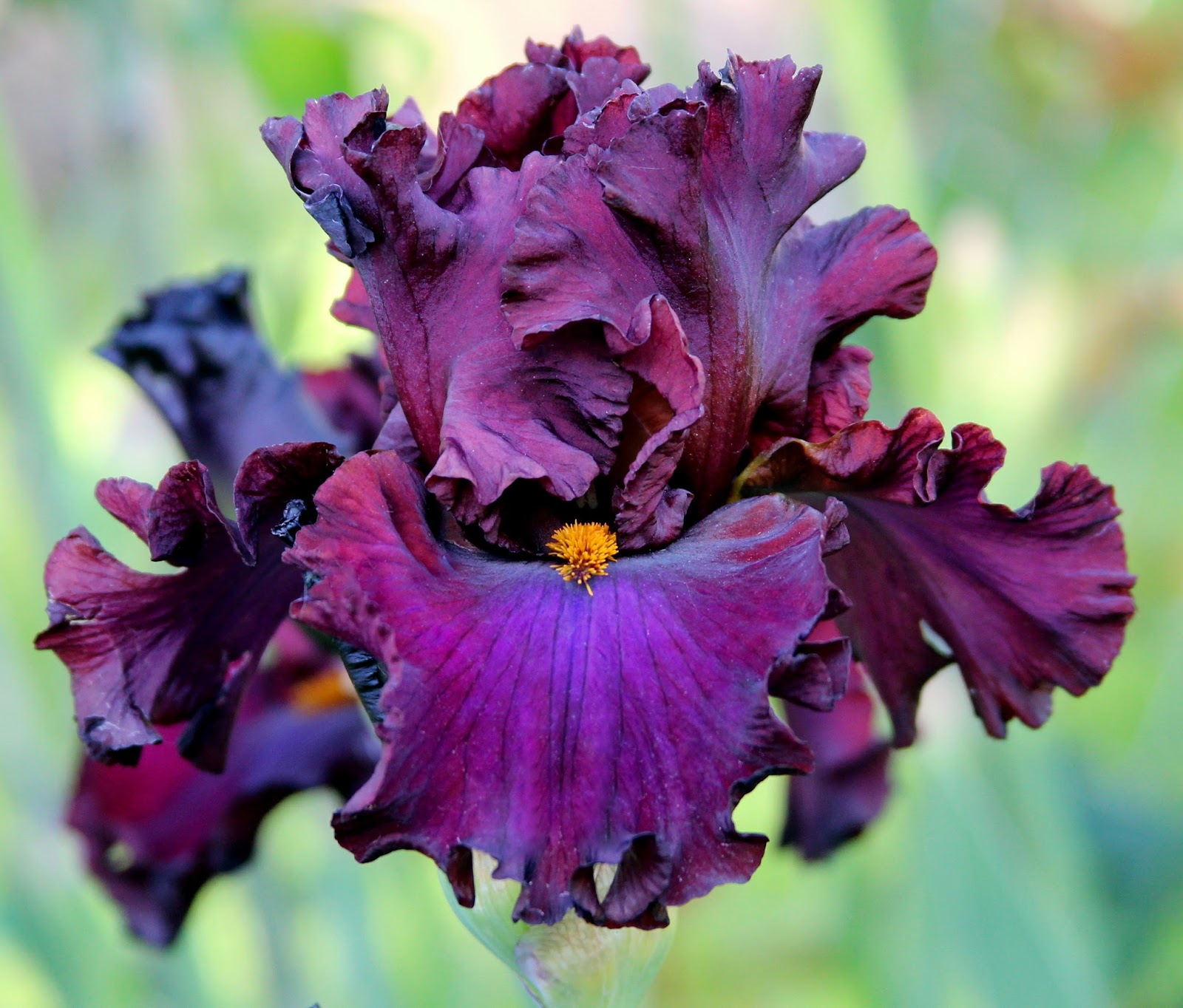 World Of Irises Talking Irises Tall Bearded Irises Companion