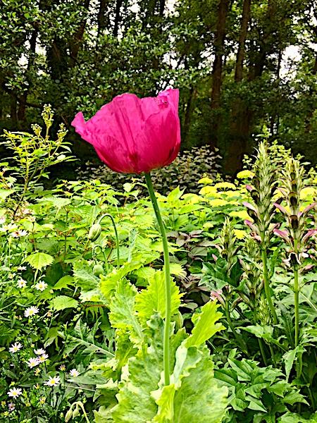 Klaproos romantische tuin Dina Deferme