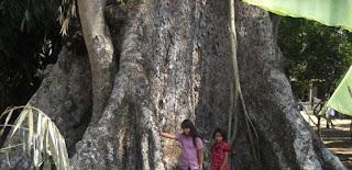 Tau Gak Tumbuhan Paling Besar Ada di Indonesia???