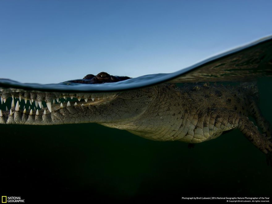 20+ Of The Best Entries From The 2016 National Geographic Nature Photographer Of The Year - Crocodile Waterline