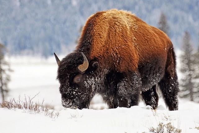 30 Gambar Menakjubkan Hewan Bison Dari Amerika  Update