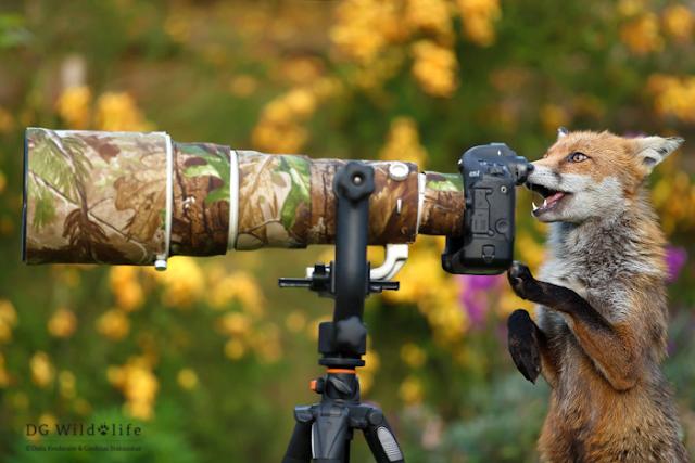 Лисиця із фотоапаратом