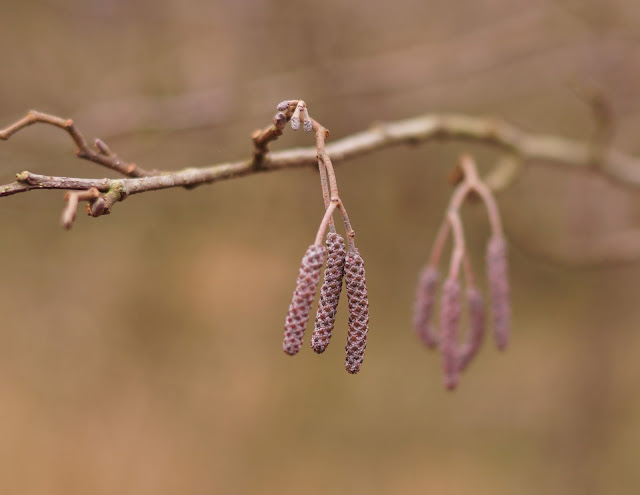 Catkins in February