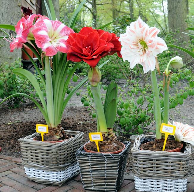 10 Jenis Bunga Hias Dalam Pot Terbaik Untuk Taman Rumah