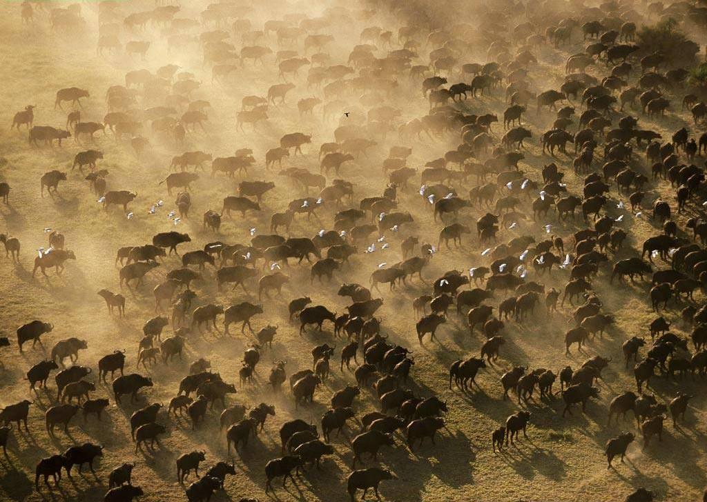 Estampida de búfalos en Dakpta del Sur