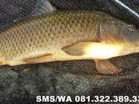 Essen Ikan Mas Babon Aroma Seribu Bunga