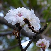 花博記念公園鶴見緑地 ジュウガツザクラ