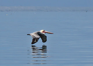 Brown Pelican, Pelecanus occidentalis californicus