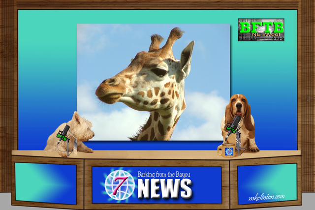 BFTB NETWoof News report on April the pregnant giraffe